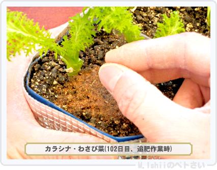ペトさい(わさび菜・改)62