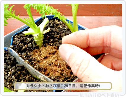 ペトさい(わさび菜・改)75
