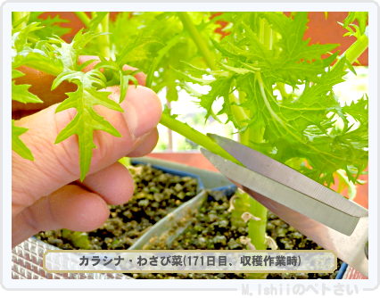 ペトさい(わさび菜・改)91