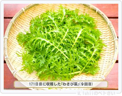 ペトさい(わさび菜・改)92