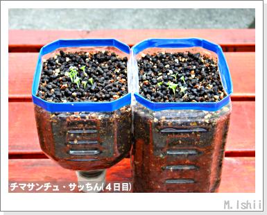 ペット栽培III(チマサンチュ)05