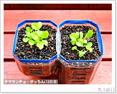 ペット栽培III(チマサンチュ)11