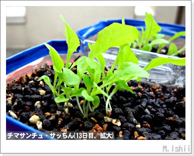 ペット栽培III(チマサンチュ)12