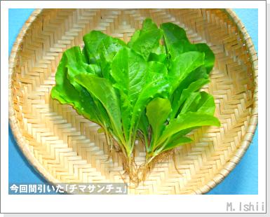 ペット栽培III(チマサンチュ)24