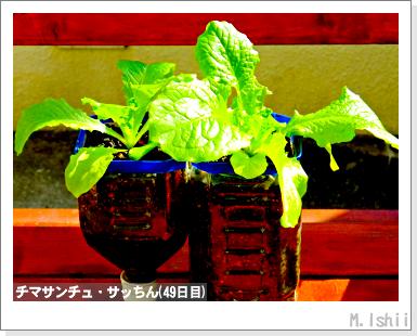 ペット栽培III(チマサンチュ)26