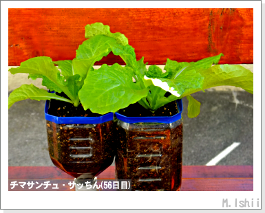 ペット栽培III(チマサンチュ)28