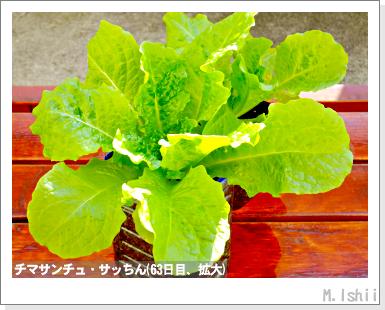 ペット栽培III(チマサンチュ)31