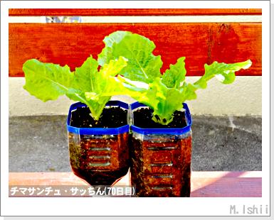 ペット栽培III(チマサンチュ)35