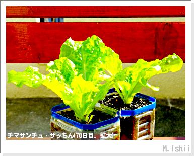 ペット栽培III(チマサンチュ)36