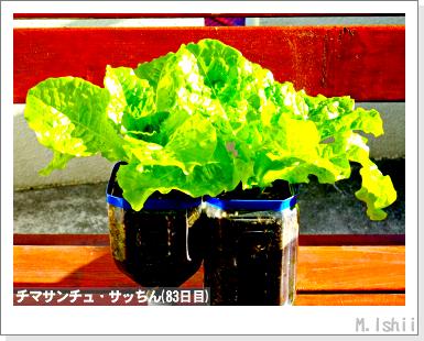 ペット栽培III(チマサンチュ)37