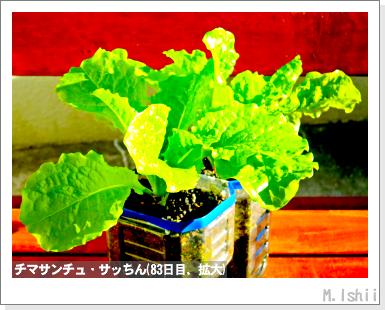 ペット栽培III(チマサンチュ)38