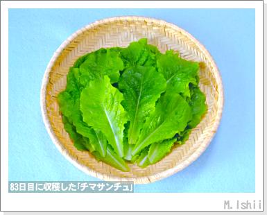 ペット栽培III(チマサンチュ)39