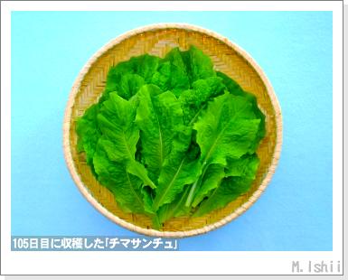 ペット栽培III(チマサンチュ)45