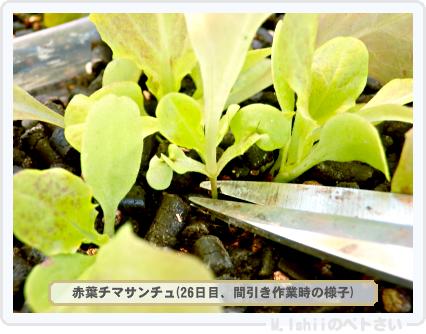 ペトさい(赤葉チマサンチュ)15