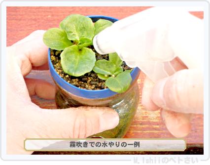 ペトさい(半結球レタス)29