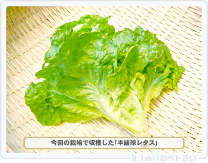 ペトさい(半結球レタス)67