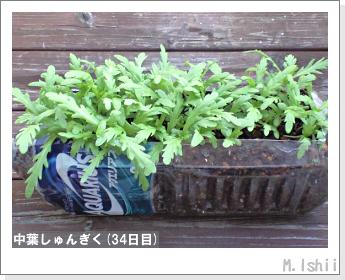 ペット栽培II(中葉しゅんぎく)11