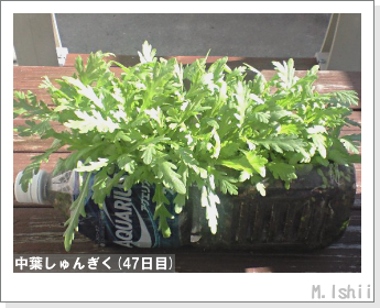 ペット栽培II(中葉しゅんぎく)13