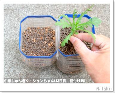 ペット栽培III(中葉しゅんぎく)19