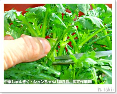 ペット栽培III(中葉しゅんぎく)34