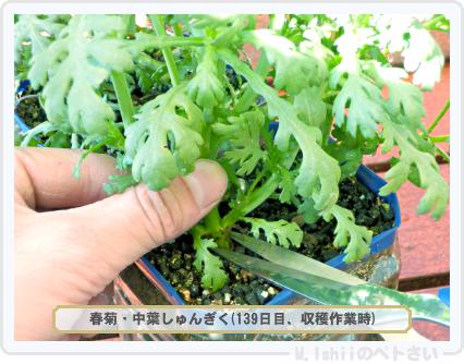 ペトさい(春菊)43