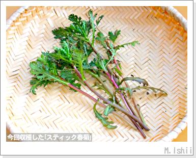 ペット栽培III(スティック春菊)23