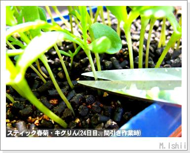 ペット栽培III(スティック春菊)30