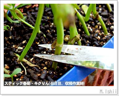 ペット栽培III(スティック春菊)37