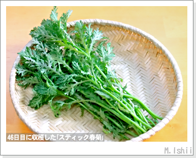 ペット栽培III(スティック春菊)38