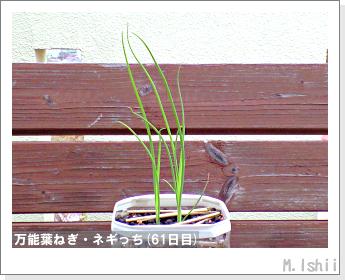 ペット栽培II(万能葉ねぎ)16