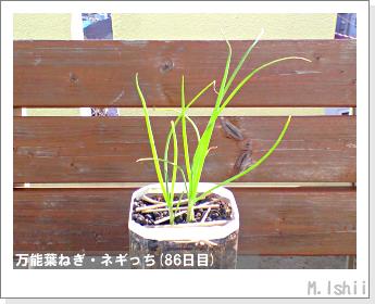ペット栽培II(万能葉ねぎ)21