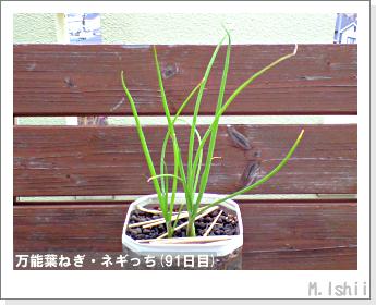 ペット栽培II(万能葉ねぎ)22