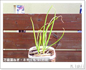 ペット栽培II(万能葉ねぎ)23