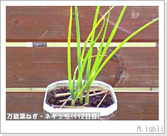 ペット栽培II(万能葉ねぎ)28