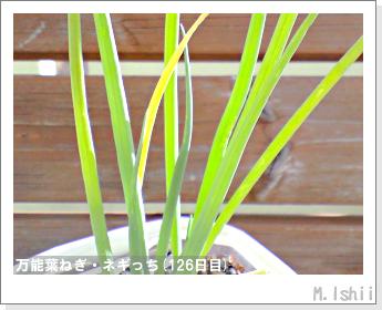 ペット栽培II(万能葉ねぎ)30