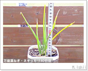 ペット栽培II(万能葉ねぎ)31