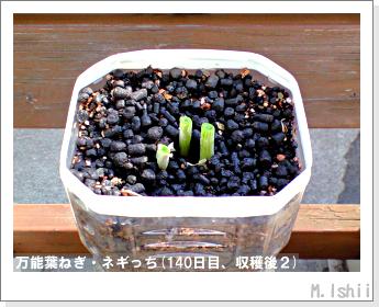 ペット栽培II(万能葉ねぎ)35
