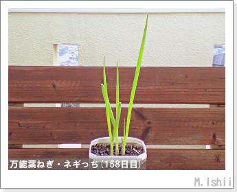 ペット栽培II(万能葉ねぎ)40