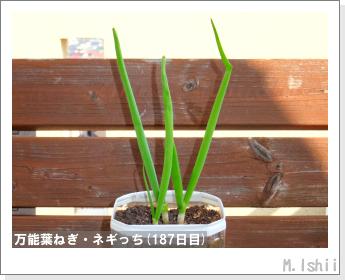 ペット栽培II(万能葉ねぎ)45