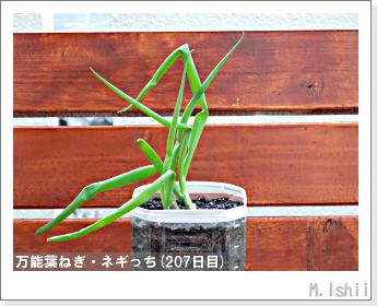 ペット栽培II(万能葉ねぎ)48