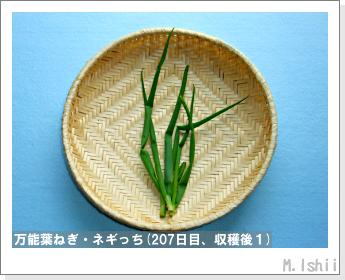 ペット栽培II(万能葉ねぎ)49
