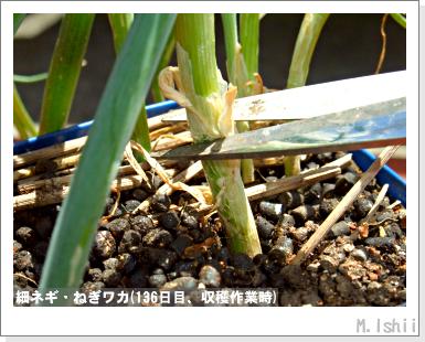 ペット栽培III(細ネギ)14
