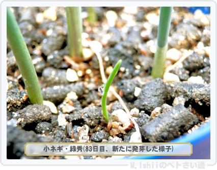 ペトさい(小ネギ)31