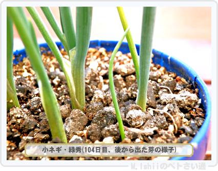 ペトさい(小ネギ)40