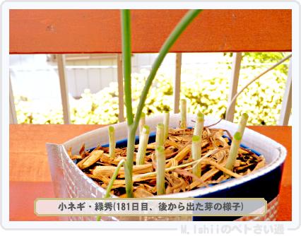 ペトさい(小ネギ)101