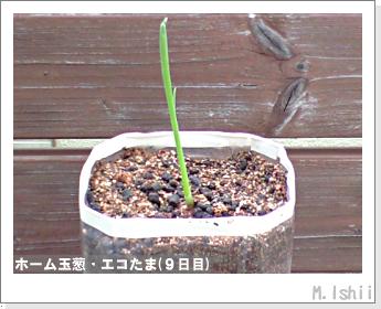ペット栽培II(ホーム玉葱)06