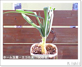 ペット栽培II(ホーム玉葱)36