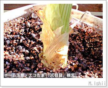 ペット栽培II(ホーム玉葱)37