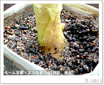 ペット栽培II(ホーム玉葱)60