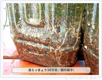 ペトさい(島らっきょう)32